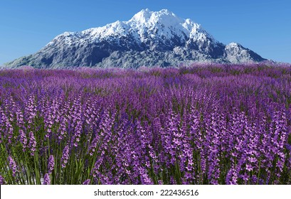 Lavender field with blue sky and mountain cover with snow