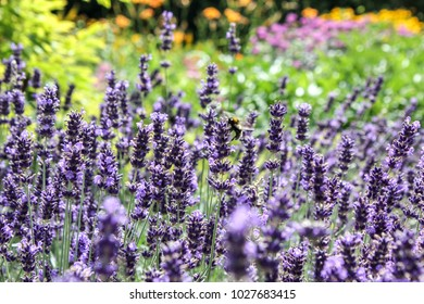 Lavender field and blur colorfull background.