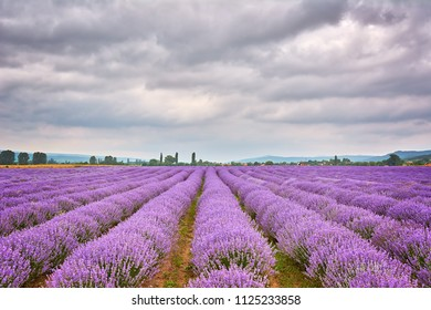 Lavender Field in Bulgaria under Cloudy Sky