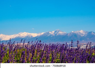 Lavender Field at Choei Lavender Farm (Hokkaido Tomita farm). Beautiful purple lavender field at furano in Hokkaido, Japan. Lavender field with snow mountain far away in the background with blue sky.