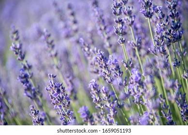 lavender in the field closeup