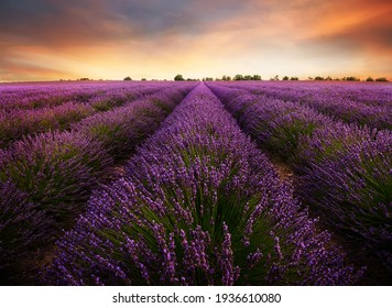 lavender field with cloudy skylavender field with cloudy sky