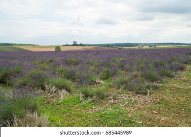 Lavender field in the countryside