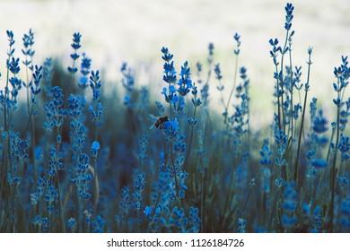 Lavender field in Crimea