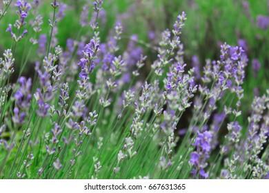 Lavender field in the Crimea
