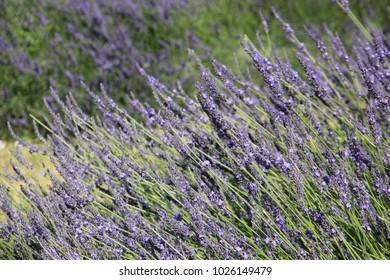 lavender field detail
