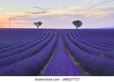 Lavender field and distant trees at sunset