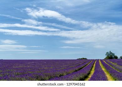 Lavender field in England