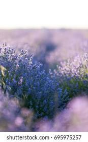 Lavender field in evening light