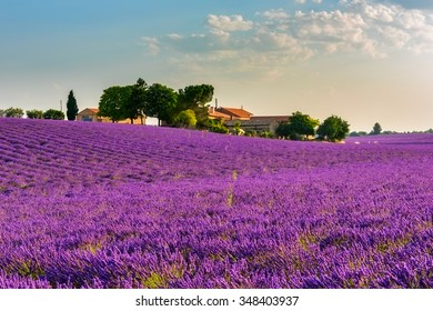 Lavender field with a farm and trees in the French Provence. Colorful picture of lavender flowers in the gentle pink light of morning. Plateau de Valensole, France