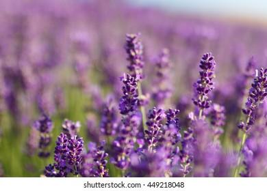 Lavender field - flowers