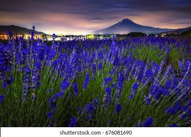 Lavender Field with Fuji Mountain Background at Oishi Park, Kawaguchiko Lake, Japan