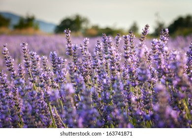 Lavender field in Grand Luberon, Vaucluse region, Provence, France