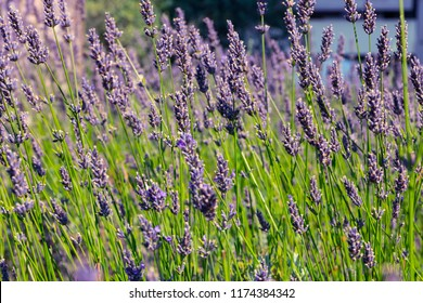 Lavender field. Harvesting. Beautiful sky. Against the backdrop of mountains and clouds. French Provence. СardSurroundings of Valansol.