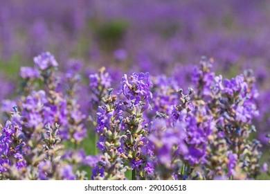Lavender, Field, Herb.
