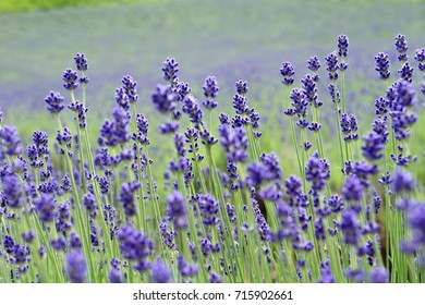 Lavender Field in Hokkaido, Japan- Close Up with Blurry Background