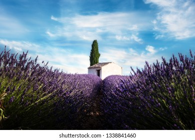 lavender field with house and tree