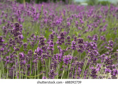 Lavender field in Hungary, Tihany