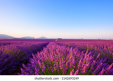 Lavender field iconic famous landscape at sunrise Valensole Plateau Provence rows of blossoming lavender bushes to the horizon Alps