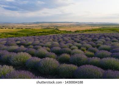 Lavender field in Kakheti region, Georgia. Early summer. Sunset.
