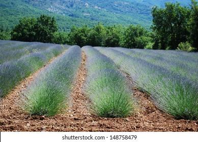 Lavender field landscape in Provence, France