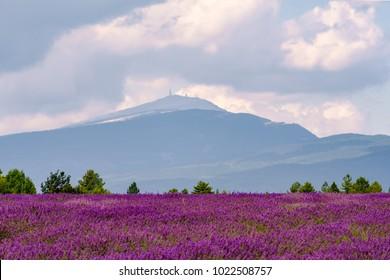 Lavender field, Mont Ventoux, Provence, France.