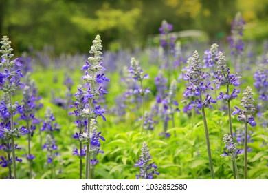 Lavender field with morning light in garden