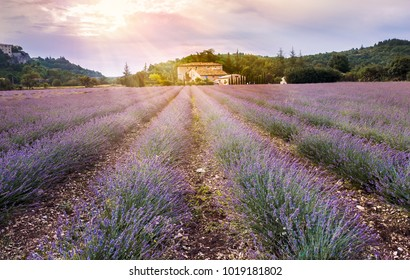 Lavender field in mountainous region at sunset - tradition rural landscape with an old farmhouse in France. Perspective lines with lavande flowers, countryside of Provence in summer time.