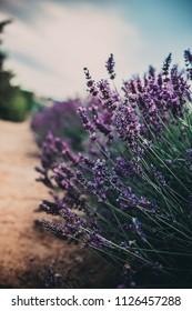 Lavender field near Cracow, Poland