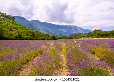 Lavender field near the Mont Ventoux in the summer. Provence, Vaucluse. France.