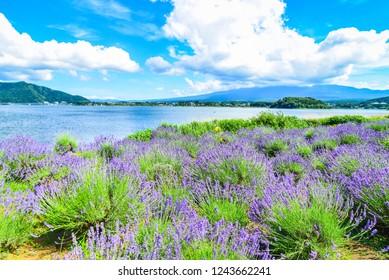 Lavender Field at Oishi Park, Kawaguchiko Lake, Japan