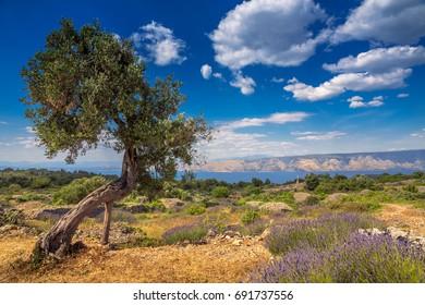 Lavender field with olive tree on Hvar Island in Croatia. Brusje city.