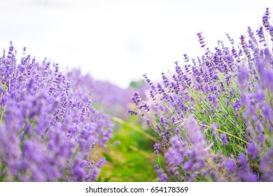 Lavender field on a blurry background