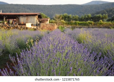 Lavender Field on a Farm - Stari Grad, Croatia