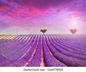 lavender field on pink sunset