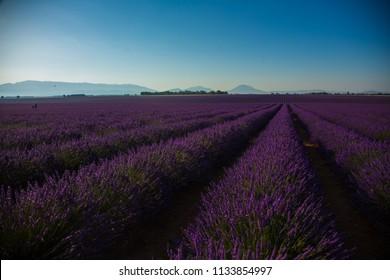 lavender field on plateu Valensole France