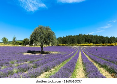 lavender-field-on-sunny-noon-260nw-11606