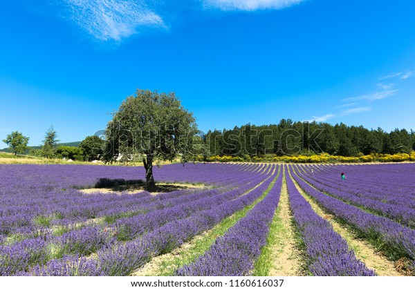 lavender-field-on-sunny-noon-600w-116061