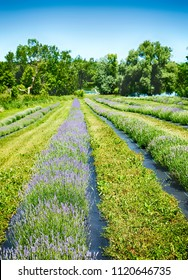 Lavender field, Ontario, Canada