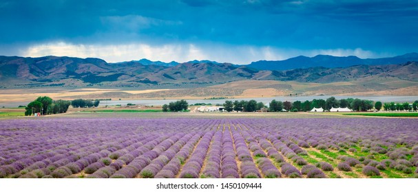 Lavender field panorama in rural Utah, USA.