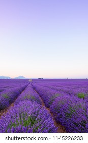 Lavender field Provance France at sunrise. Infinite blossoming lavender bushes rows to the horizon.