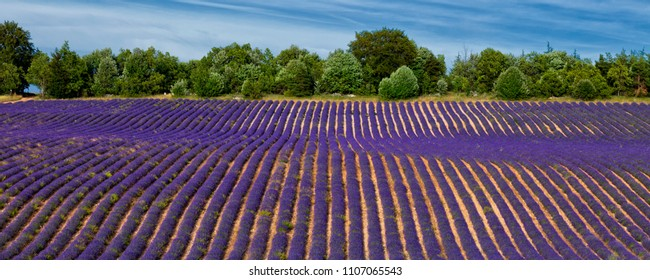 Lavender field in Provence.