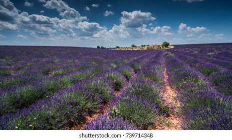 lavender field at provence