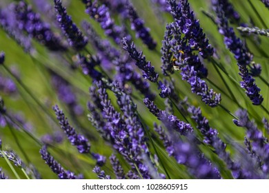 Lavender Field Provence Bee Close Up Bokeh Blurred