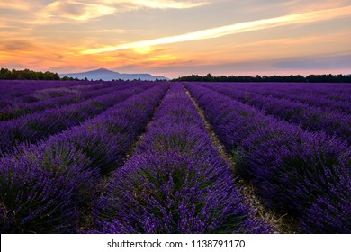 Lavender field in Provence, France, Mont Ventoux in the background. Sunset.