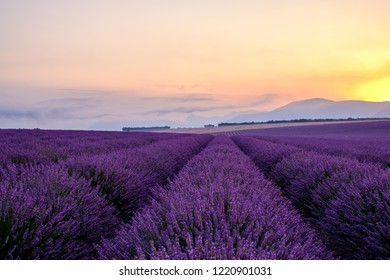Lavender field in Provence, France. Plateau of Valensole. Sunrise.