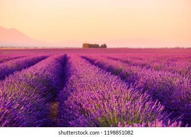 Lavender field Provence France selective focus