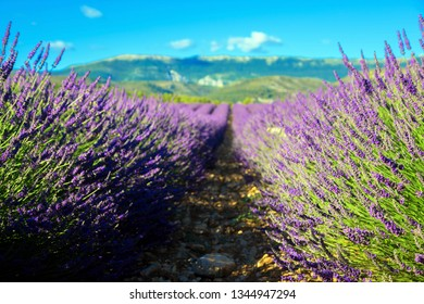 Lavender field, Provence, France. Selective focus on dipped colors. Blurred lavender background.