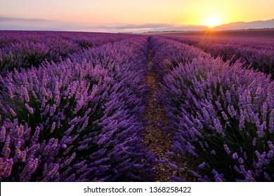 Lavender field in Provence, France, Valensole plateau. Sunrise.