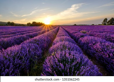 Lavender field in Provence, Mont Ventoux in the background. Sunset.
